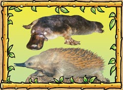 Australian Facts Platypus